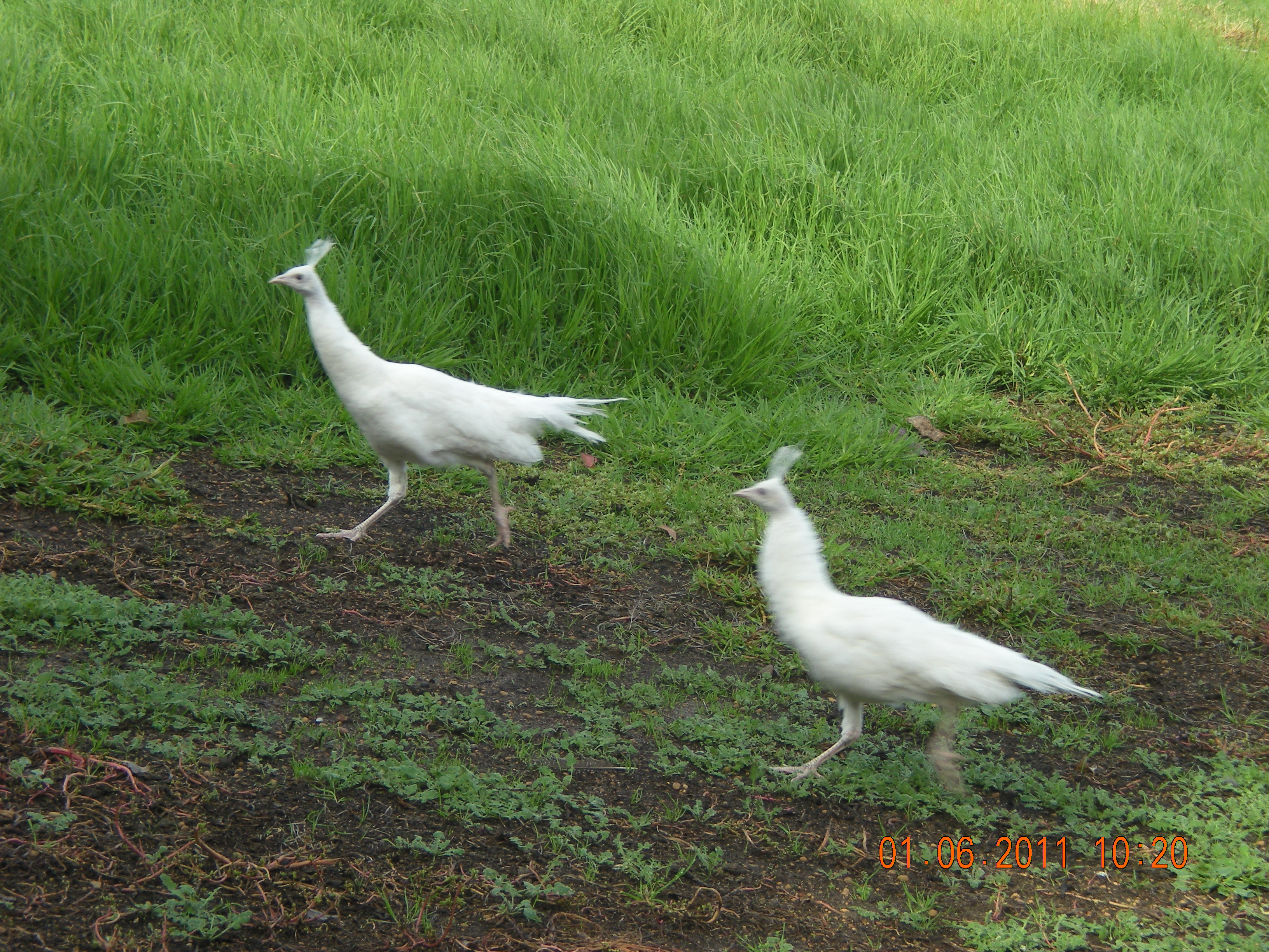 White female peacocks