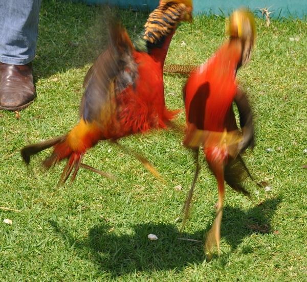 Golden Pheasant Female